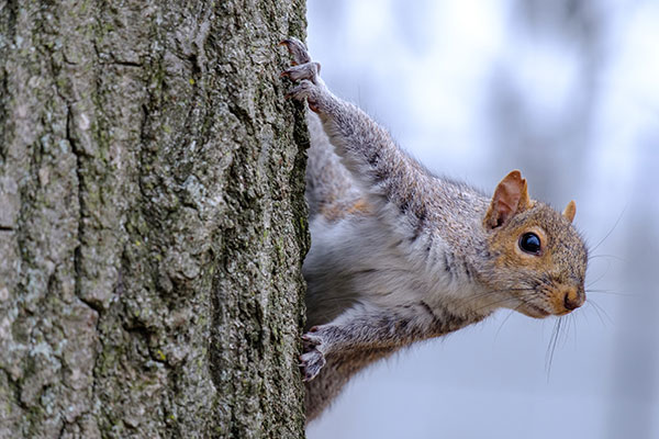 Squirrel clinging to side of tree