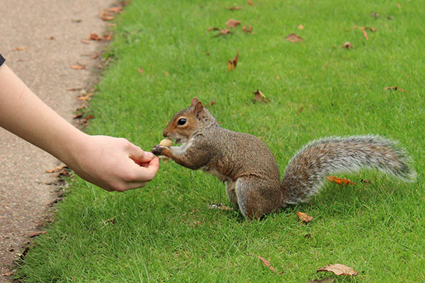 Squirrel taking food from hand