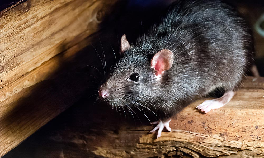 Rat caught at night with tourch