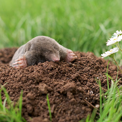 Mole coming up for air, making a mess of a lawn