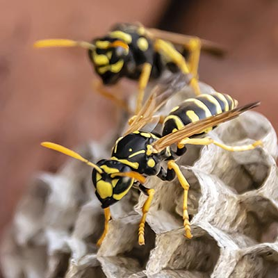 Wasps on small nest